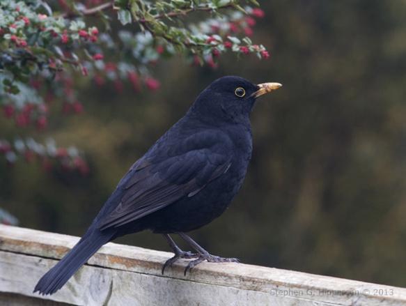 Blackbird3_MG_1266