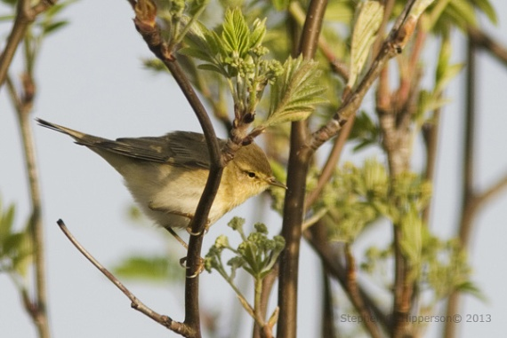WillowWarbler_MG_1475