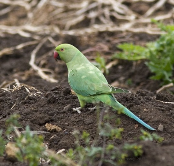 Parrot_MG_1679