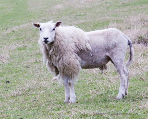 sheep_MG_1727