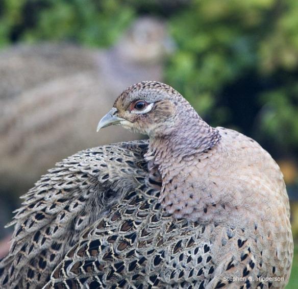 Pheasant_MG_5335