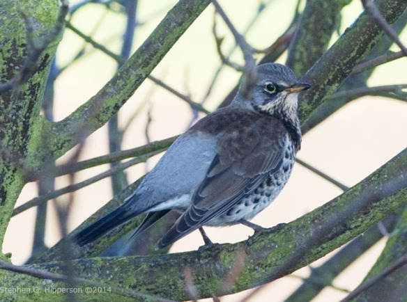 fieldfare_MG_5658