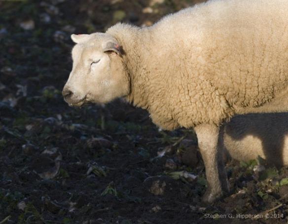 sheep_MG_5706
