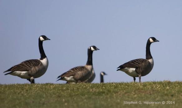 Geese_MG_6705