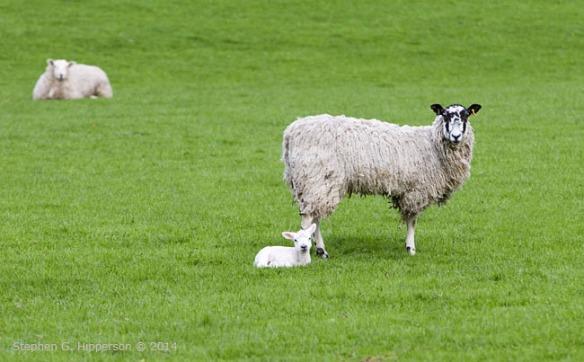 Lamb_MG_7809