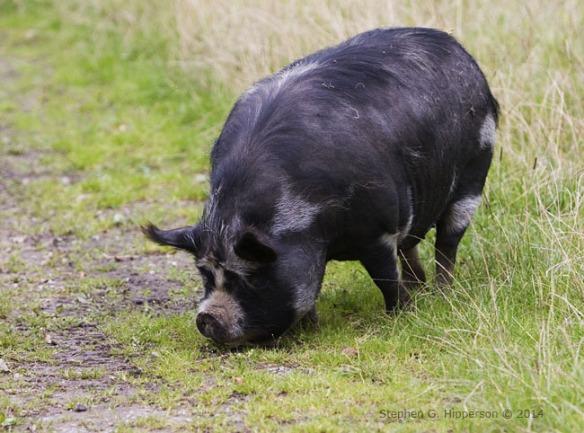 Pig_MG_9469