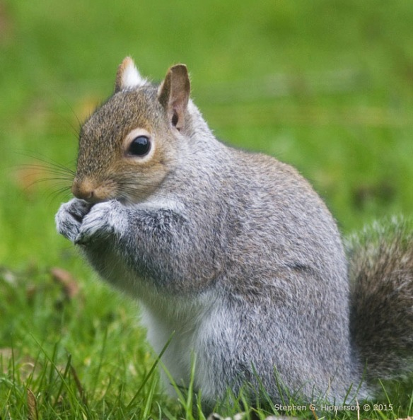 Squirrel_MG_0163