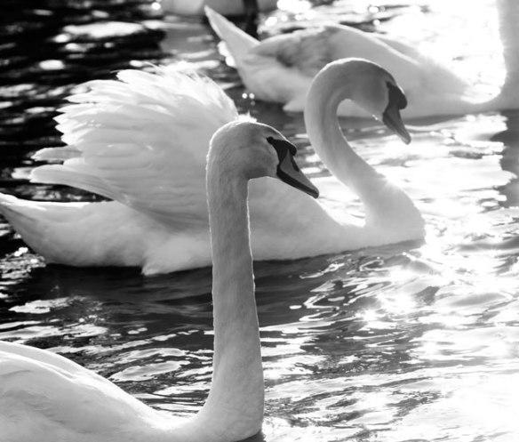 swan_MG_0394