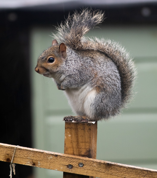 squirrel_MG_6918